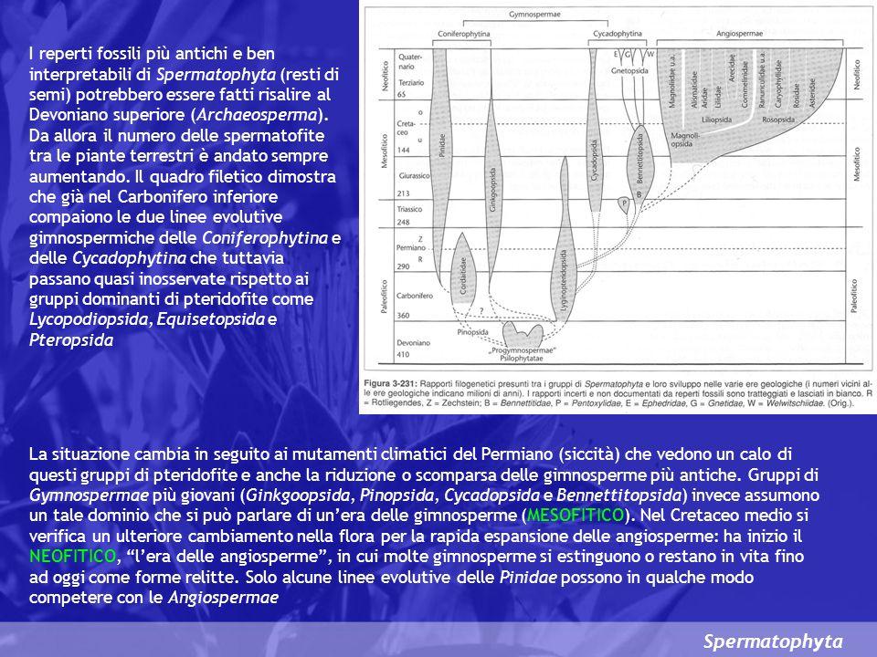 Spermatophyta I reperti fossili più antichi e ben interpretabili di Spermatophyta (resti di semi) potrebbero essere fatti risalire al Devoniano superiore (Archaeosperma).