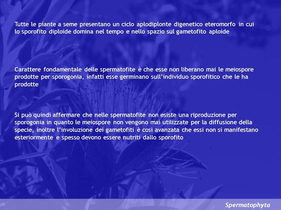 Spermatophyta Le spermatofite sono tutte piante ETEROSPOREE e pertanto produce MICROSPORE (ANDROSPORE) e MACROSPORE (o MEGASPORE o GINOSPORE) allinterno di un MICROSPORANGIO (SACCA POLLINICA) o di un MACROSPORANGIO (o MEGASPORANGIO) o NUCELLA, che non si apre a maturità Le ANDROSPORE che hanno già iniziato la germinazione sono note come GRANULI DI POLLINE Le GINOSPORE con i gametofiti femminili da esse prodotti sono avvolte da complessi di cellule che nel loro insieme costituiscono lOVULO LOVULO a maturità conterrà il GINOGAMETE che, a seguito dellatto gamico, produrrà un EMBRIONE mentre lOVULO stesso si trasformerà in SEME Il SEME costituisce una novità di estrema importanza sia per la diffusione della specie (DISSEMINAZIONE) sia per il fatto che, entrando in QUIESCENZA, consente alla pianta (EMBRIONE) si sopportare senza danni anche lunghi periodi di condizioni sfavorevoli (SEME COME STRUTTURA O DISPOSITIVO DI RESISTENZA)