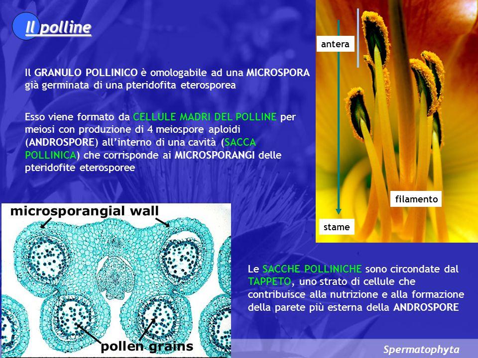 Spermatophyta La germinazione dei granuli pollinici e lulteriore sviluppo del gametofito iniziano nella camera pollinica allapice della NUCELLA, nel micropilo dellovulo (nelle gimnosperme) e sullo stigma del carpello (nelle angiosperme) NellESINA del granulo pollinico si apre un passaggio in aree predeterminate a parete sottile (dette AREE DI GERMINAZIONE) e la cellula del tubetto pollinico sviluppa, con un notevole allungamento dellINTINA, il TUBETTO POLLINICO Nelle spermatofite più primitive, in cui la fecondazione avviene con spermatozoidi, il tubetto pollinico serve solo a nutrire e ad ancorare il gametofito alla parete della camera pollinica mediante una sorta di rizoide.