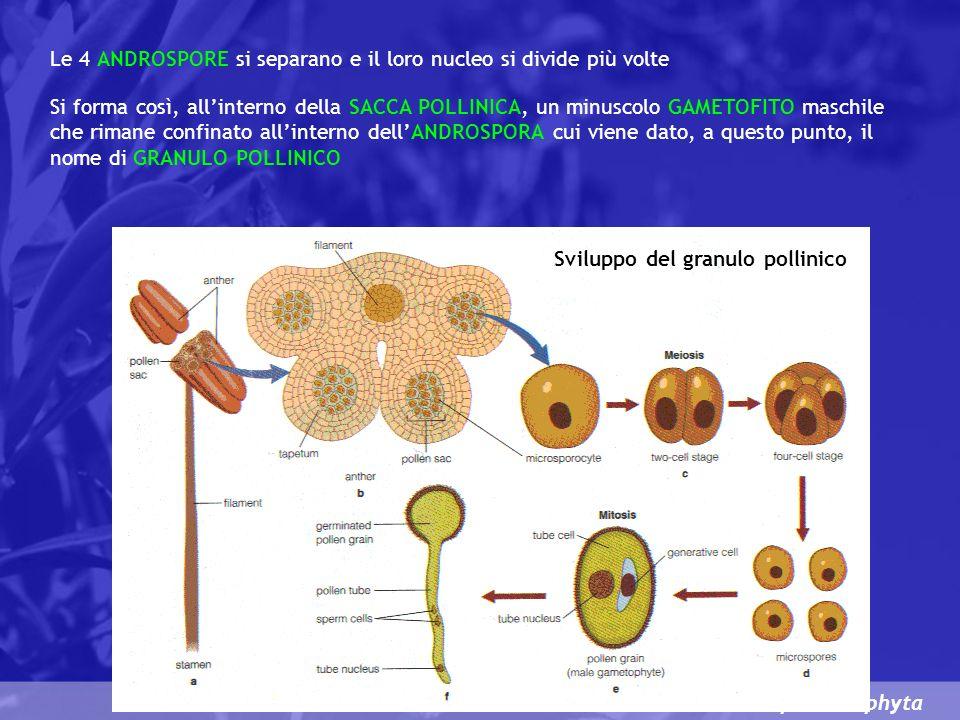 Spermatophyta Sviluppo del granulo pollinico Le 4 ANDROSPORE si separano e il loro nucleo si divide più volte Si forma così, allinterno della SACCA POLLINICA, un minuscolo GAMETOFITO maschile che rimane confinato allinterno dellANDROSPORA cui viene dato, a questo punto, il nome di GRANULO POLLINICO