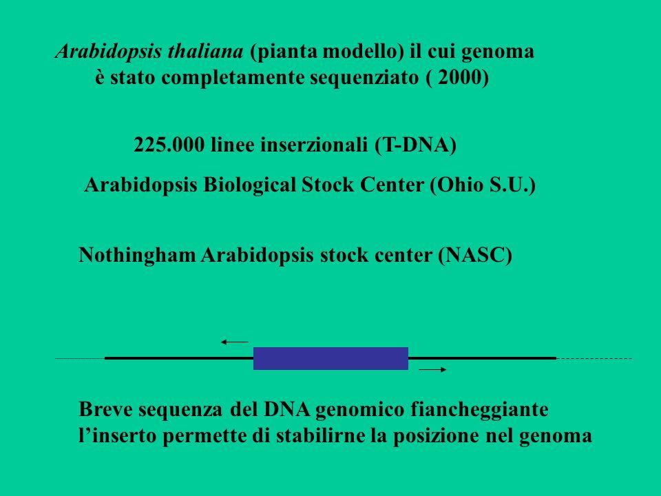 Arabidopsis thaliana (pianta modello) il cui genoma è stato completamente sequenziato ( 2000) 225.000 linee inserzionali (T-DNA) Arabidopsis Biologica