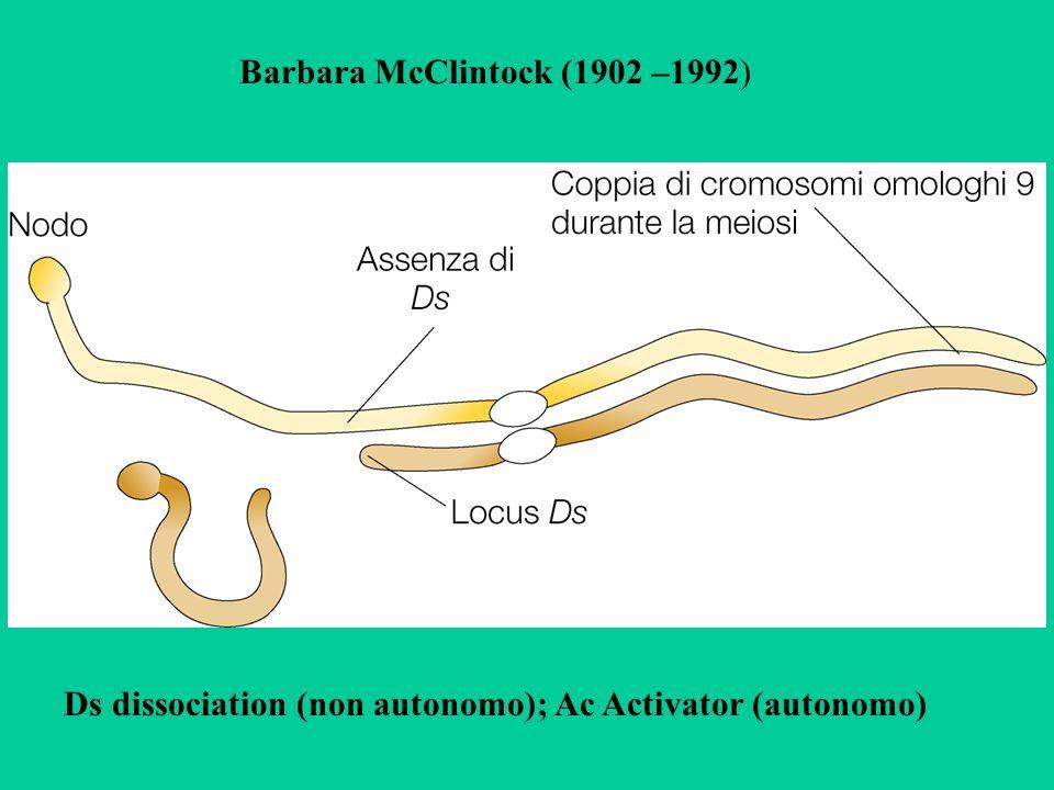 Barbara McClintock (1902 –1992) Ds dissociation (non autonomo); Ac Activator (autonomo)