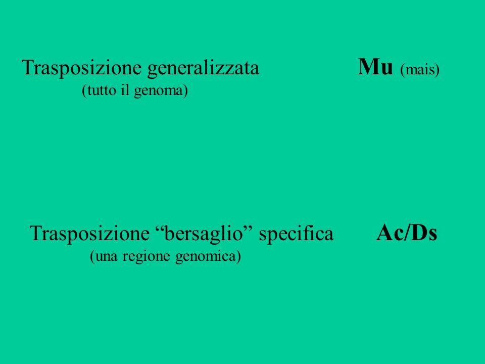Trasposizione generalizzata Mu (mais) Trasposizione bersaglio specifica Ac/Ds (tutto il genoma) (una regione genomica)