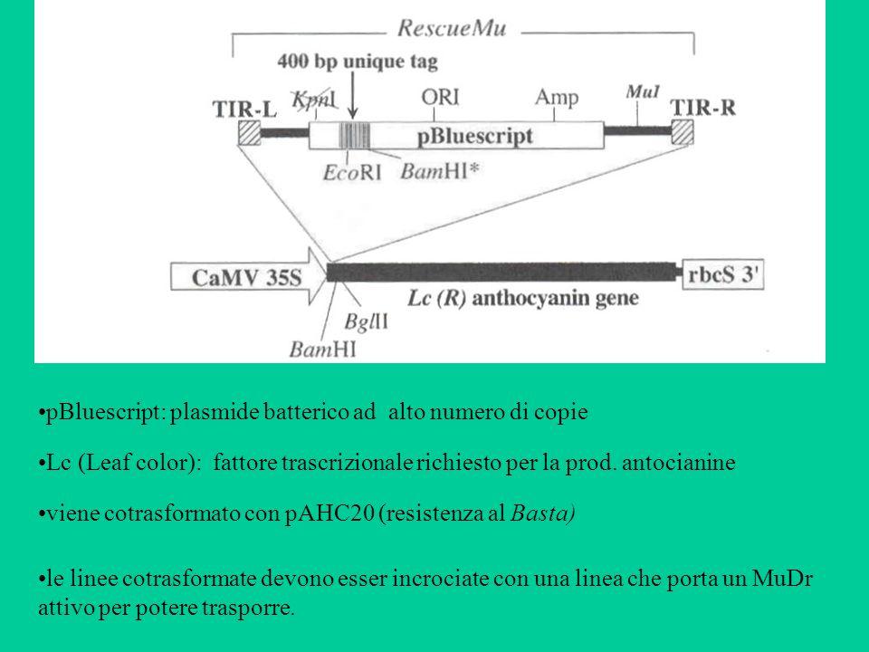 Lc (Leaf color): fattore trascrizionale richiesto per la prod. antocianine pBluescript: plasmide batterico ad alto numero di copie viene cotrasformato