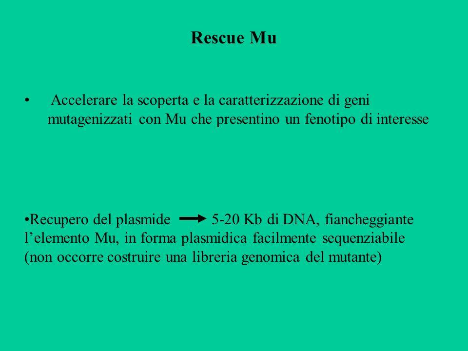 Rescue Mu Accelerare la scoperta e la caratterizzazione di geni mutagenizzati con Mu che presentino un fenotipo di interesse Recupero del plasmide 5-2