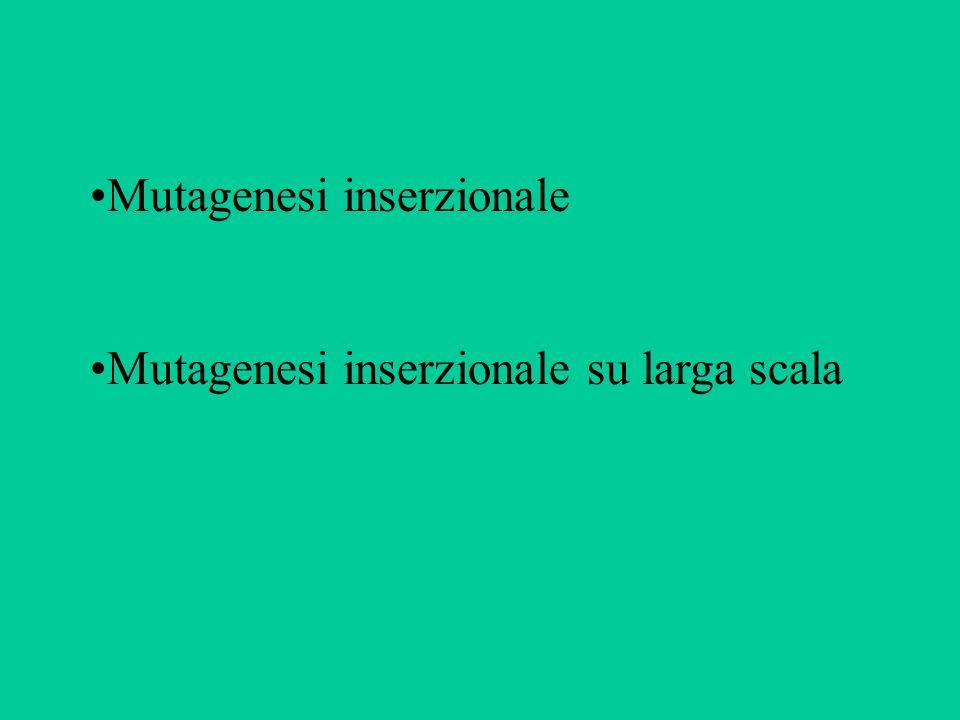 Mutagenesi inserzionale Mutagenesi inserzionale su larga scala