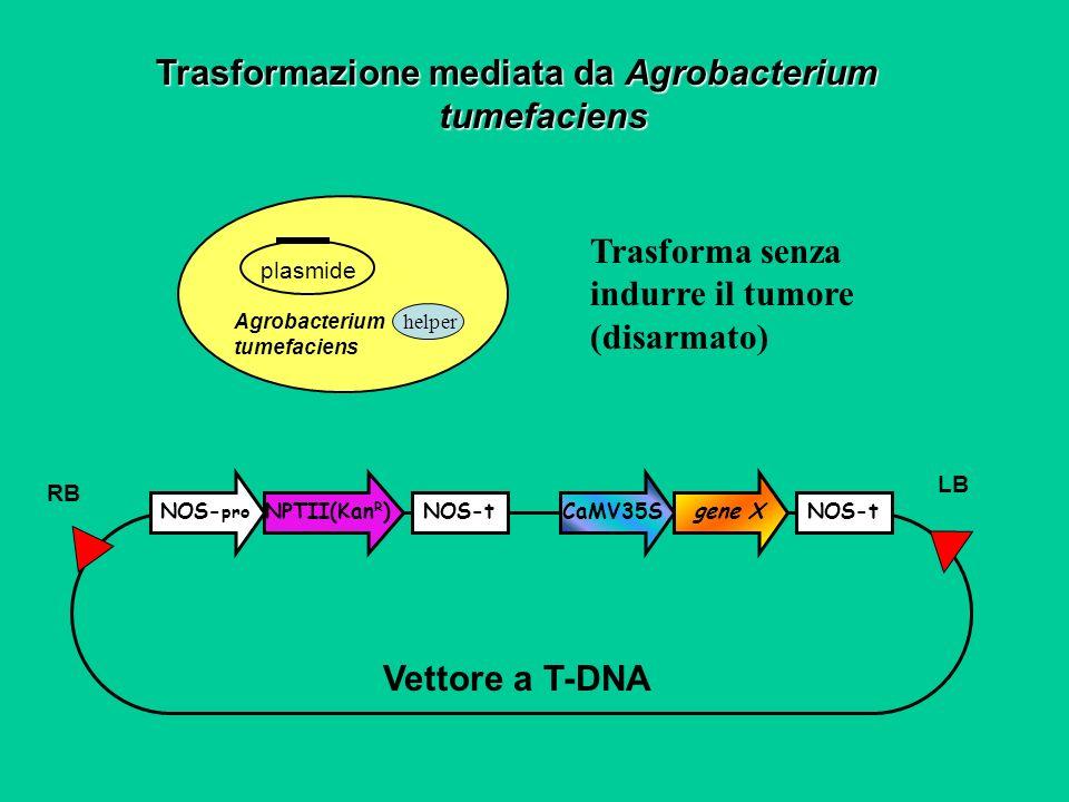 NOS- pro NOS-t NPTII(Kan R ) CaMV35S gene X Vettore a T-DNA RB LB Trasformazione mediata da Agrobacterium tumefaciens Agrobacterium tumefaciens plasmi
