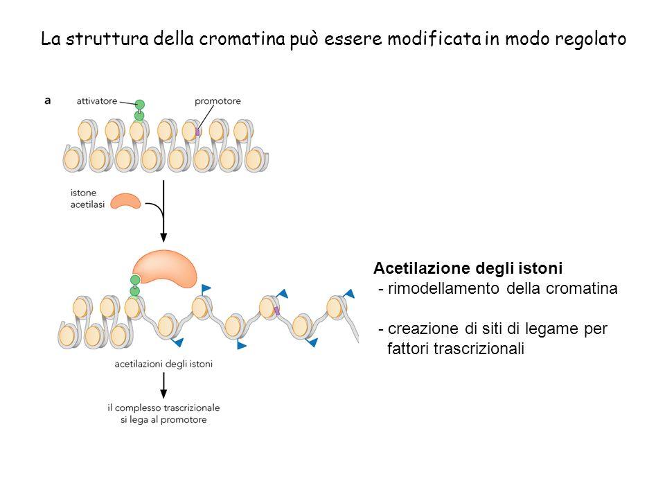 La struttura della cromatina può essere modificata in modo regolato Acetilazione degli istoni - rimodellamento della cromatina - creazione di siti di