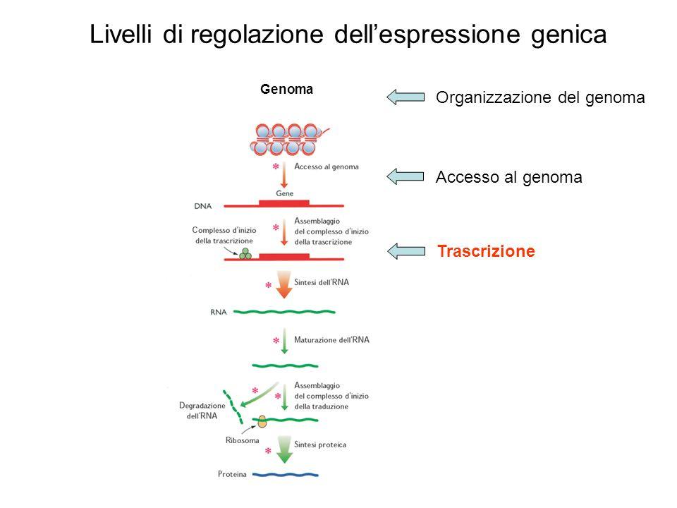 Livelli di regolazione dellespressione genica Genoma Organizzazione del genoma Accesso al genoma Trascrizione