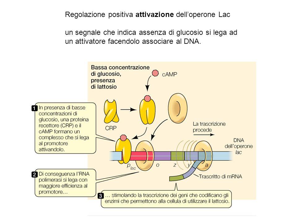 Regolazione positiva attivazione delloperone Lac un segnale che indica assenza di glucosio si lega ad un attivatore facendolo associare al DNA.