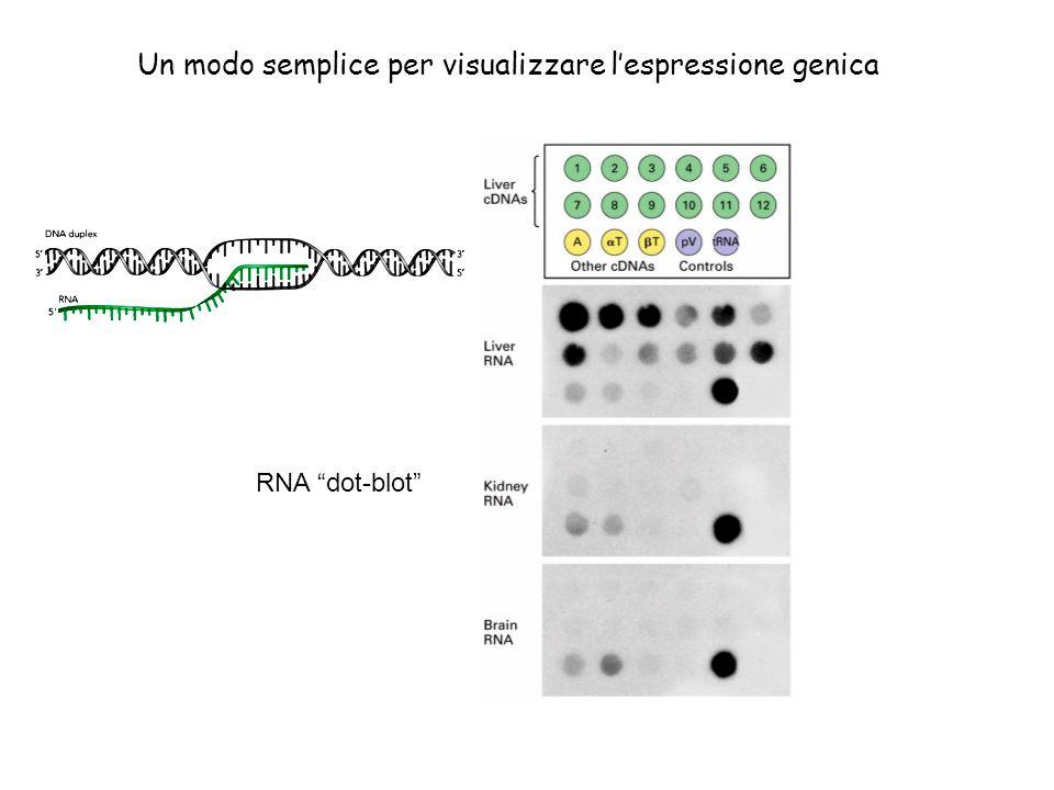 Un modo semplice per visualizzare lespressione genica RNA dot-blot