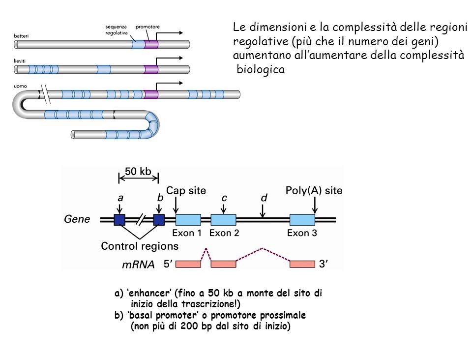 Le dimensioni e la complessità delle regioni regolative (più che il numero dei geni) aumentano allaumentare della complessità biologica a) enhancer (f