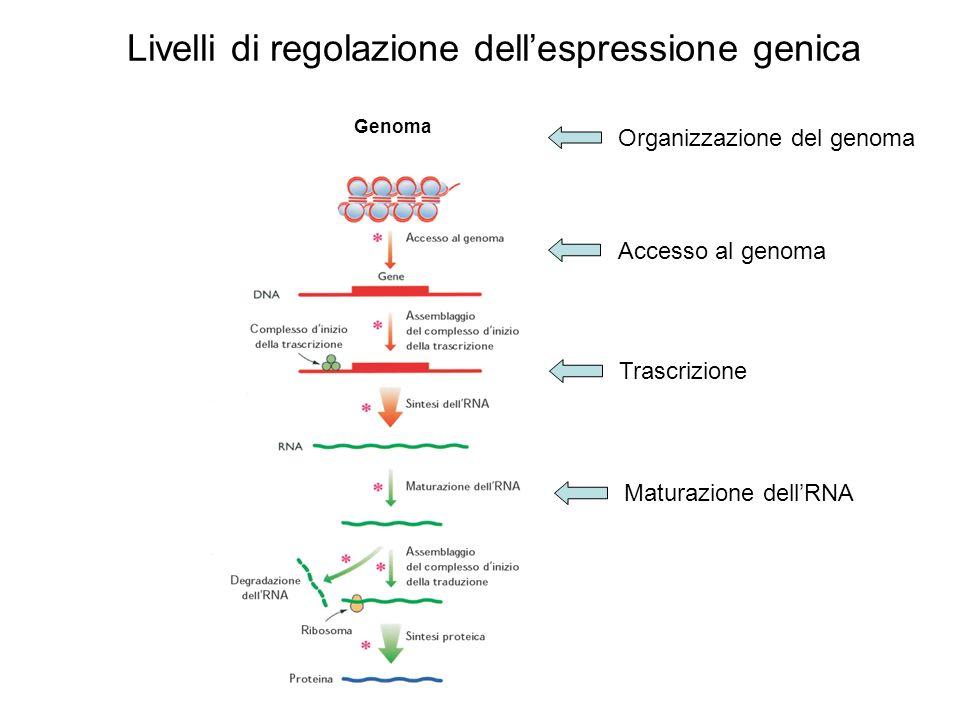 Livelli di regolazione dellespressione genica Genoma Organizzazione del genoma Accesso al genoma Trascrizione Maturazione dellRNA