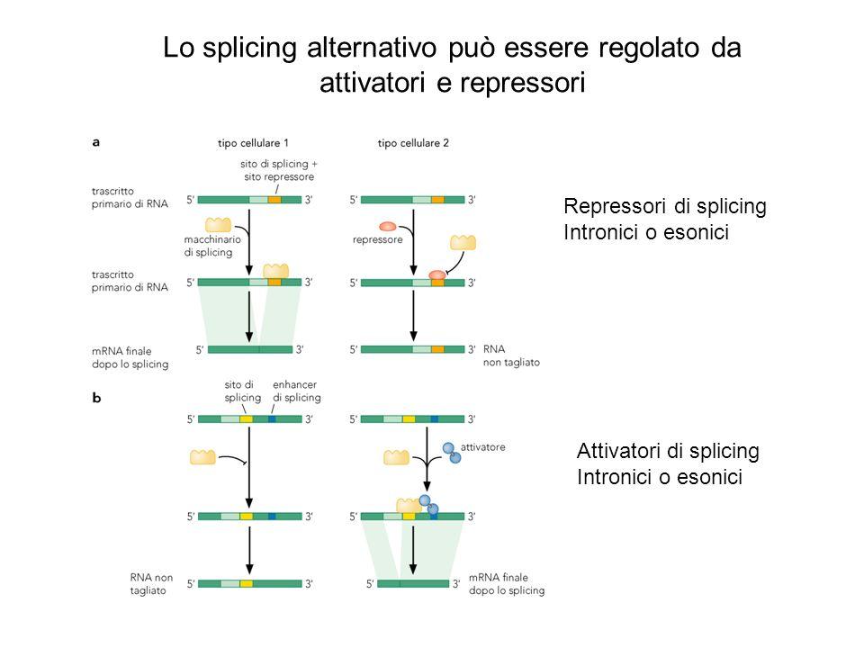 Lo splicing alternativo può essere regolato da attivatori e repressori Repressori di splicing Intronici o esonici Attivatori di splicing Intronici o e