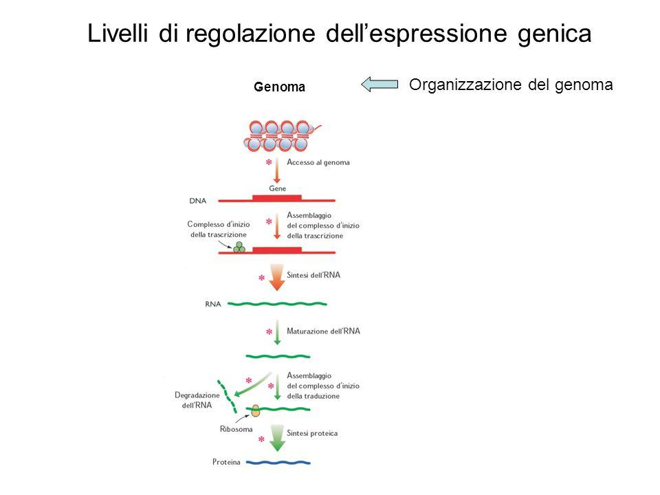 Lespressione dei tRNA isoaccettori dipende dal numero di copie dei geni Abbontanza cellulare dei tRNA Numero di copie dei geni per tRNA (%)