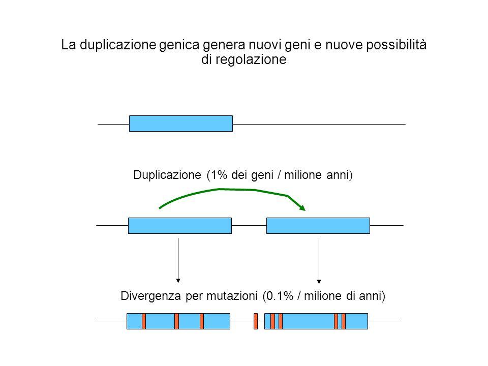 Duplicazione (1% dei geni / milione anni ) Divergenza per mutazioni (0.1% / milione di anni) La duplicazione genica genera nuovi geni e nuove possibil