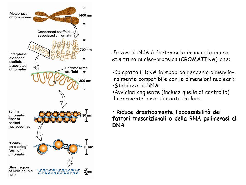 In vivo, il DNA è fortemente impaccato in una struttura nucleo-proteica (CROMATINA) che: Compatta il DNA in modo da renderlo dimensio- nalmente compat