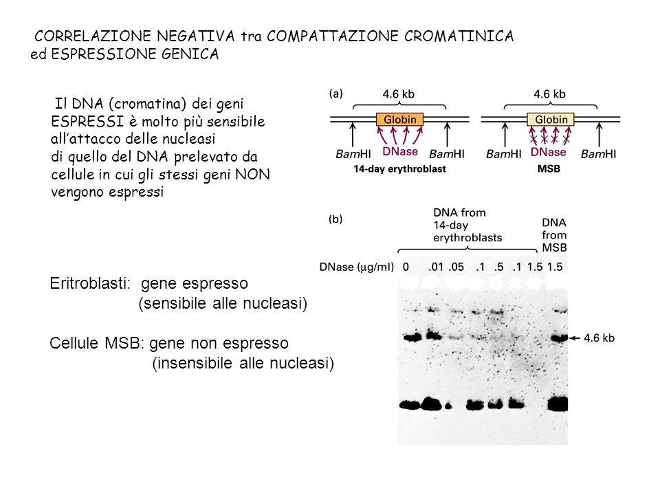 CORRELAZIONE NEGATIVA tra COMPATTAZIONE CROMATINICA ed ESPRESSIONE GENICA Il DNA (cromatina) dei geni ESPRESSI è molto più sensibile allattacco delle
