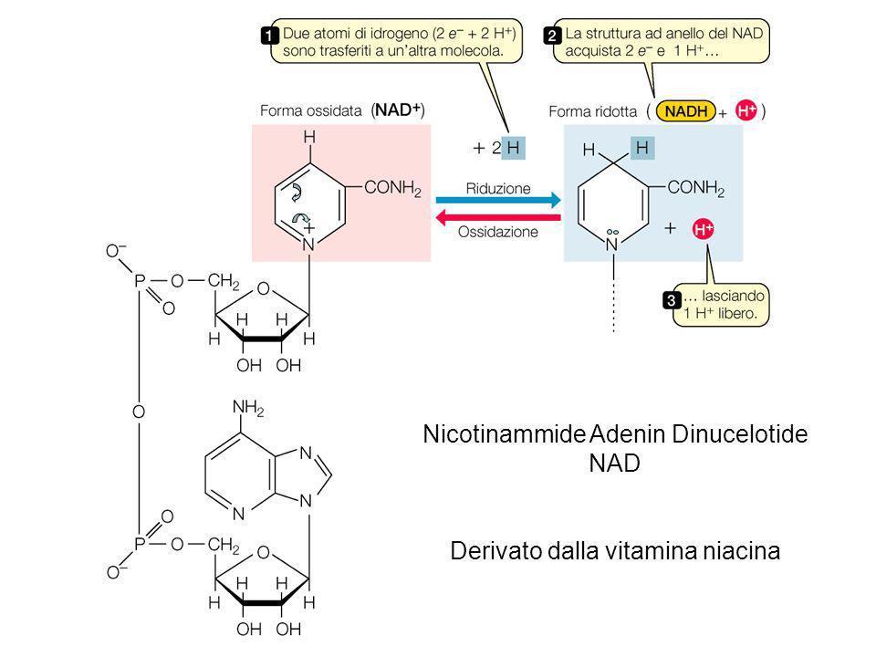Nicotinammide Adenin Dinucelotide NAD Derivato dalla vitamina niacina