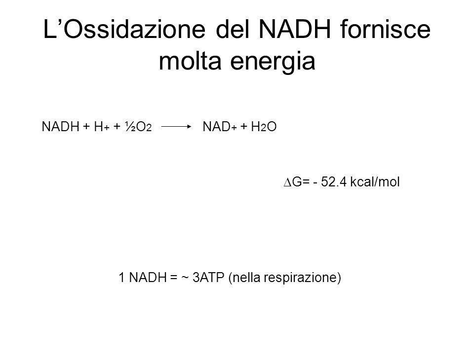 LOssidazione del NADH fornisce molta energia 1 NADH = ~ 3ATP (nella respirazione) NADH + H + + ½O 2 NAD + + H 2 O G= - 52.4 kcal/mol