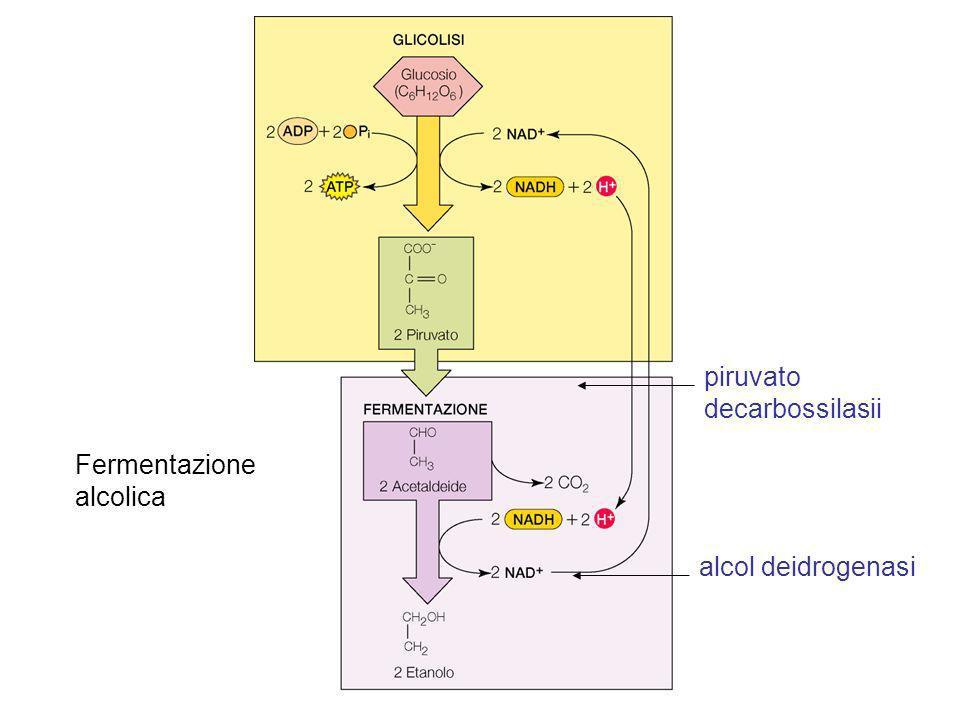 Fermentazione alcolica alcol deidrogenasi piruvato decarbossilasii