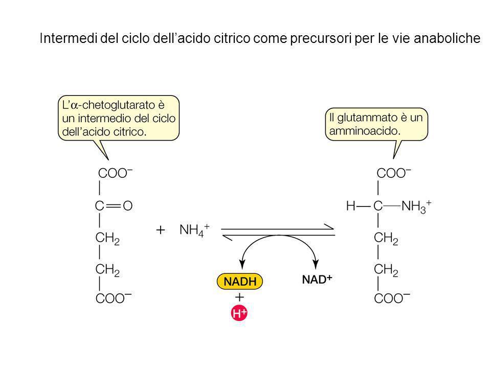 Intermedi del ciclo dellacido citrico come precursori per le vie anaboliche
