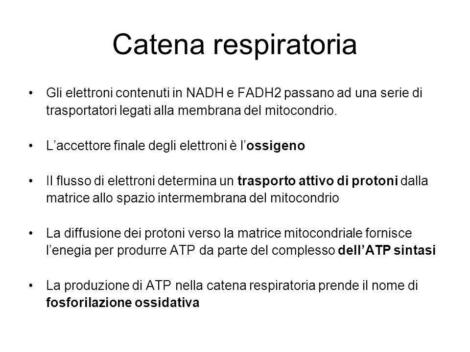 Catena respiratoria Gli elettroni contenuti in NADH e FADH2 passano ad una serie di trasportatori legati alla membrana del mitocondrio. Laccettore fin
