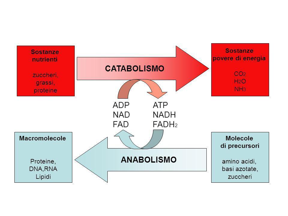 CATABOLISMO ANABOLISMO Macromolecole Proteine, DNA,RNA Lipidi Molecole di precursori amino acidi, basi azotate, zuccheri Sostanze nutrienti zuccheri,