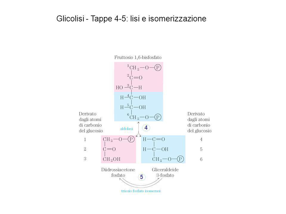 4 5 Glicolisi - Tappe 4-5: lisi e isomerizzazione