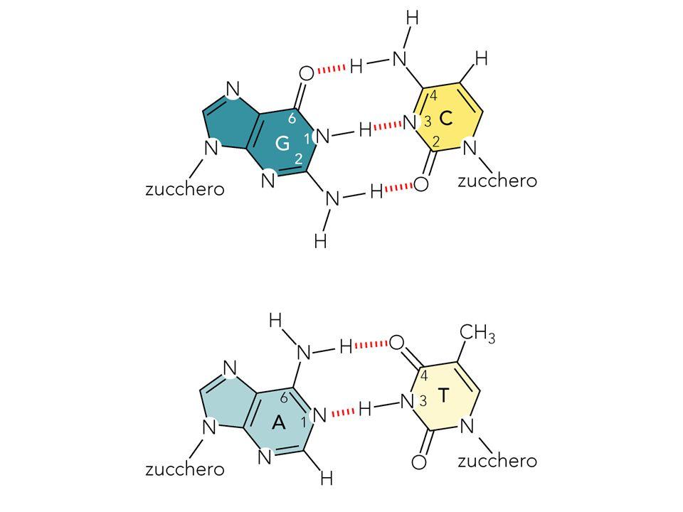 Confronto fra le forme A, B e Z Forma AForma BForma Z Senso dellelicaDestrorsa DestrorsaSinistrorsa Diametro 26 Å20 Å18 Å Coppie basi/giro1110.512 Distanza fra le basi2.6 Å 3.4 Å 3.7 Å Piegamento basi rispetto20°6°7° alla normale allasse Conformazione zuccheroC3-endoC2-endoC2-endo (Py) C3-endo (Pu) Conformazione legameAntiAntiAnti (Py) N-glicosidicoSyn (Pu)