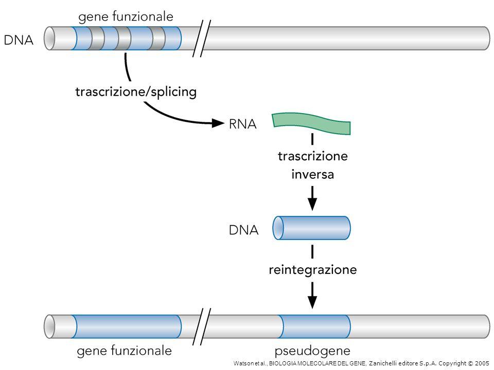 Duplicazione e segregazione dei cromosomi I cromosomi eucariotici hanno bisogno dei seguenti elementi non genici, non coinvolti nella regolazione genica, per una corretta replicazione e segregazione: - Origini di replicazione: siti dassemblaggio dei complessi di replicazione (eucarioti: una origine ogni 30-40 kb; procarioti: una sola origine per cromosoma) - Centromeri: siti di assemblaggio del cinetocoro, complesso proteico responsabile della segregazione dei cromosomi replicati (uno per cromosoma) - Telomeri: complessi proteici localizzati alle estremità dei cromosomi, proteggono da ricombinazione e degradazione.