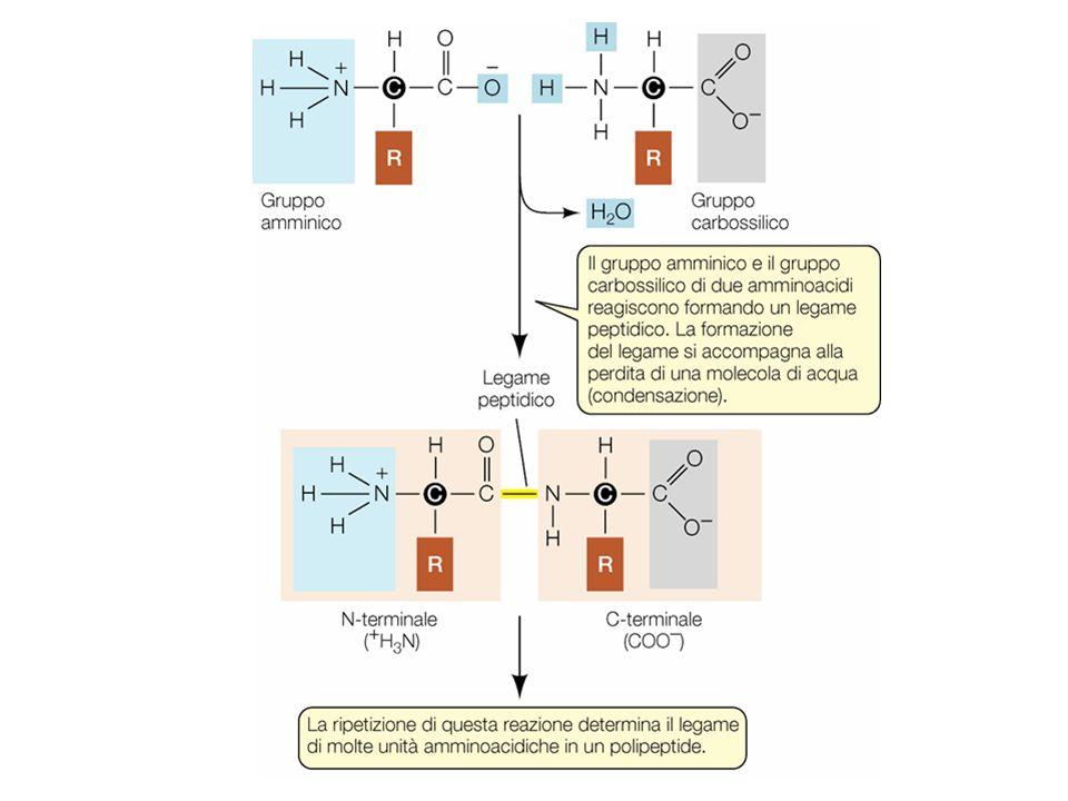 Distribuzione dei residui polari e idrofobici nelle proteine di membrana GLUT1 trasportatore del glucosio
