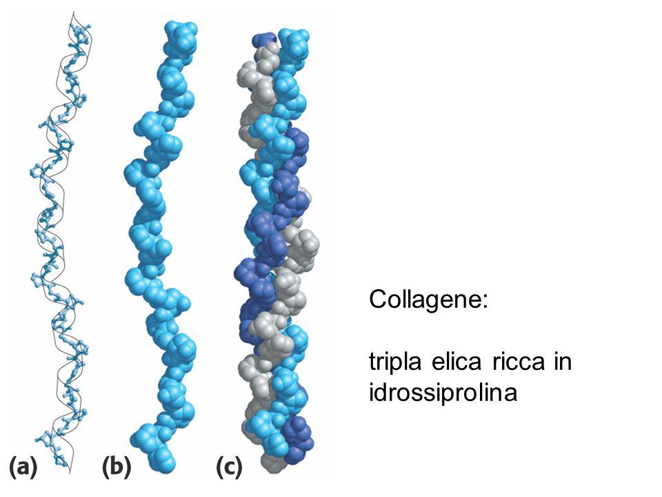 Collagene: tripla elica ricca in idrossiprolina