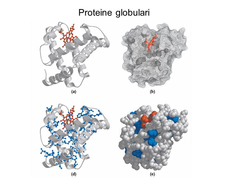 Proteine globulari