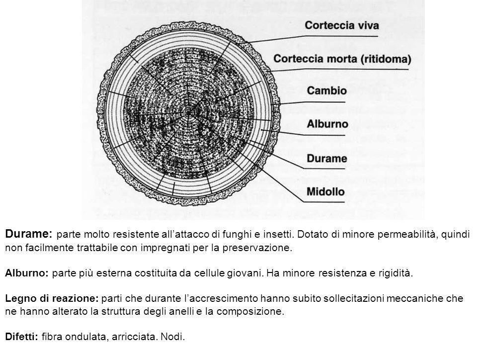 Durame: parte molto resistente allattacco di funghi e insetti. Dotato di minore permeabilità, quindi non facilmente trattabile con impregnati per la p