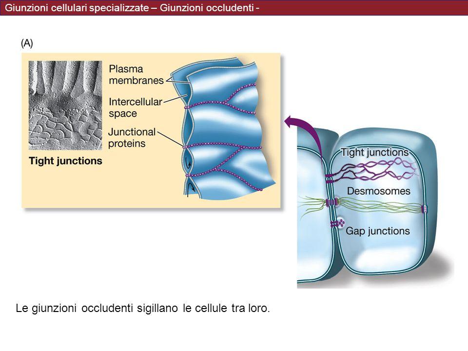 Giunzioni cellulari specializzate – Giunzioni occludenti - Le giunzioni occludenti sigillano le cellule tra loro.
