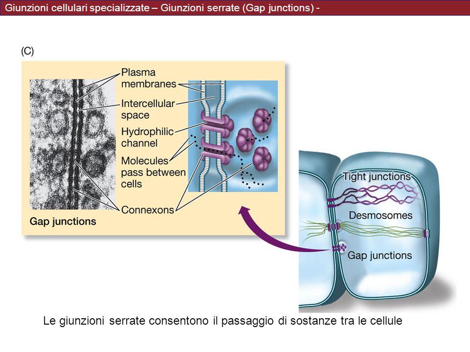 Giunzioni cellulari specializzate – Giunzioni serrate (Gap junctions) - Le giunzioni serrate consentono il passaggio di sostanze tra le cellule