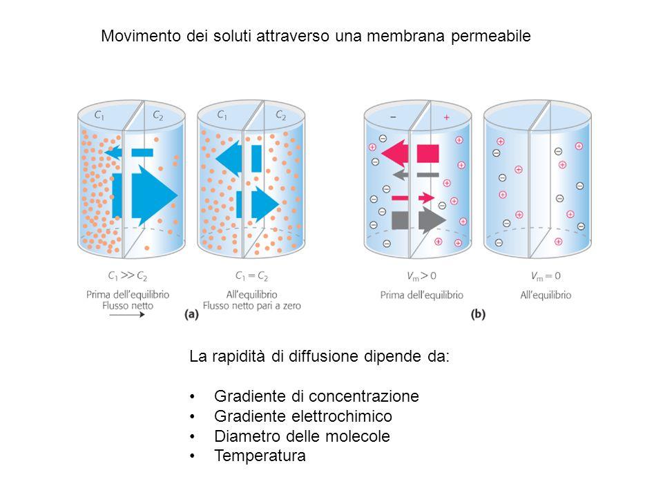 La rapidità di diffusione dipende da: Gradiente di concentrazione Gradiente elettrochimico Diametro delle molecole Temperatura Movimento dei soluti at