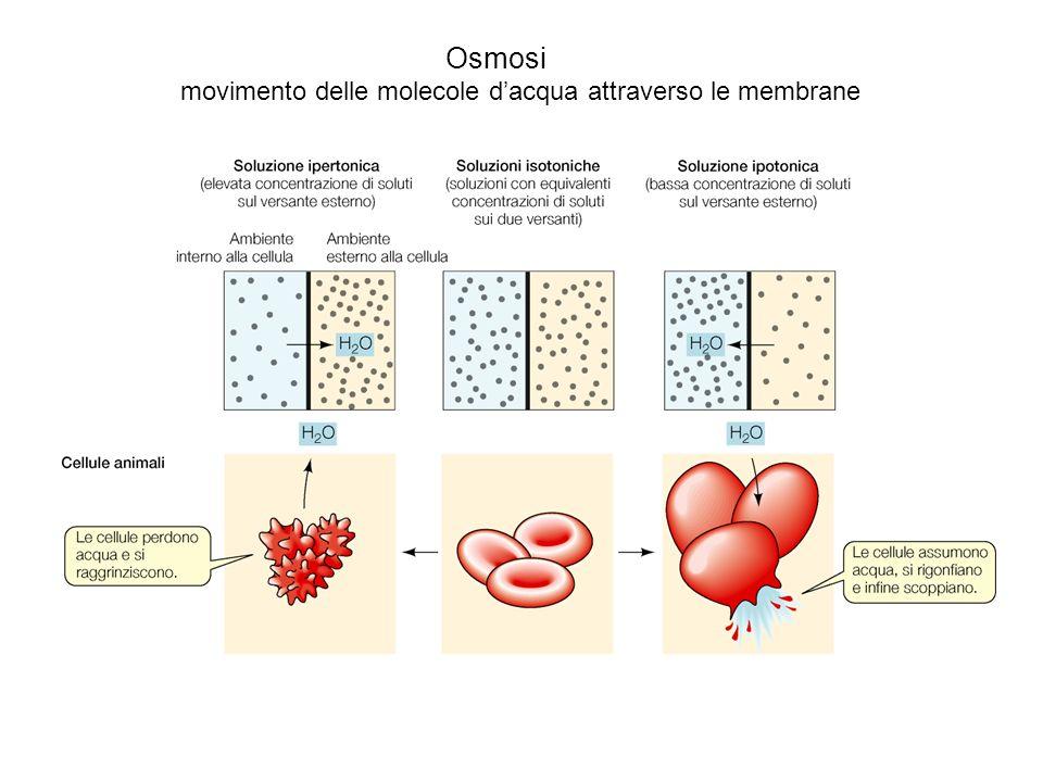 Osmosi movimento delle molecole dacqua attraverso le membrane