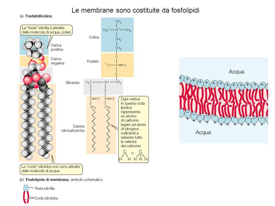 5 nm Membrane cellulari: doppio strato fosfolipidico