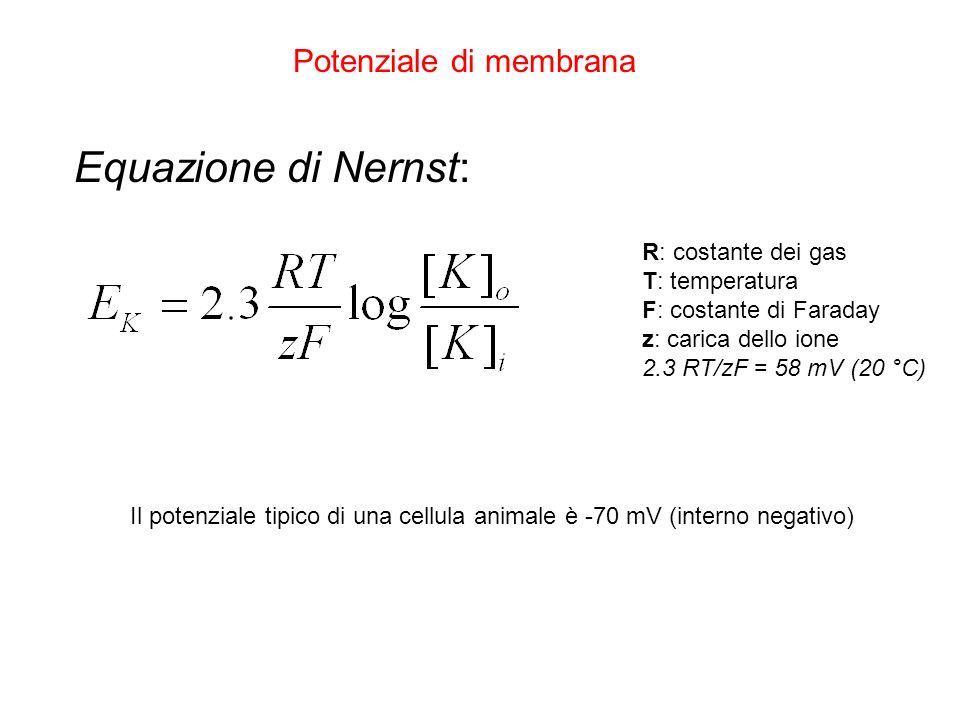 Potenziale di membrana Equazione di Nernst: R: costante dei gas T: temperatura F: costante di Faraday z: carica dello ione 2.3 RT/zF = 58 mV (20 °C) I