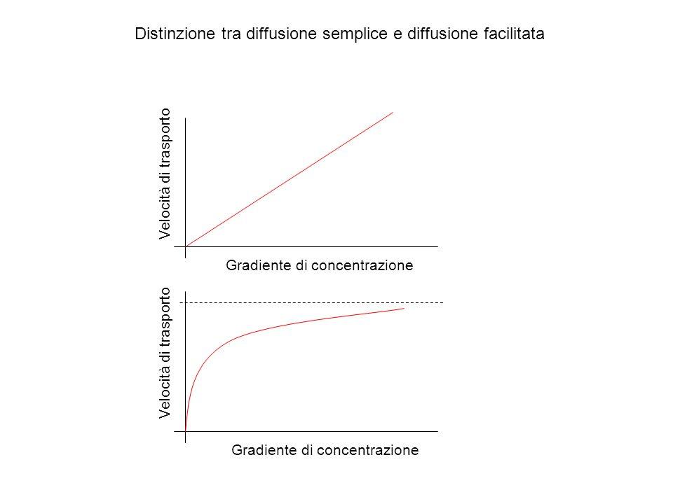 Distinzione tra diffusione semplice e diffusione facilitata Gradiente di concentrazione Velocità di trasporto