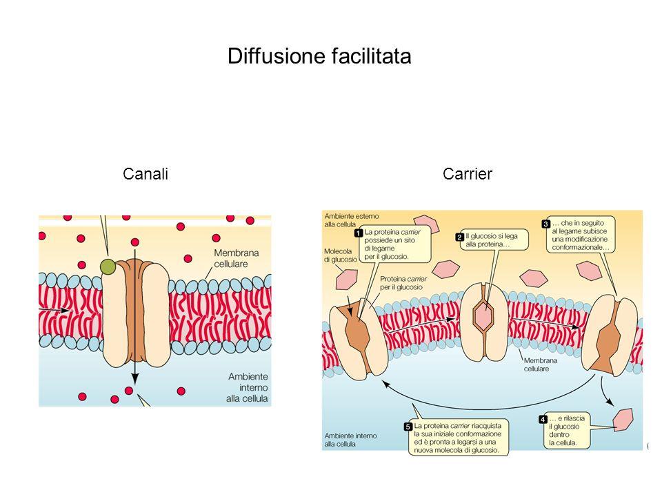 CanaliCarrier Diffusione facilitata