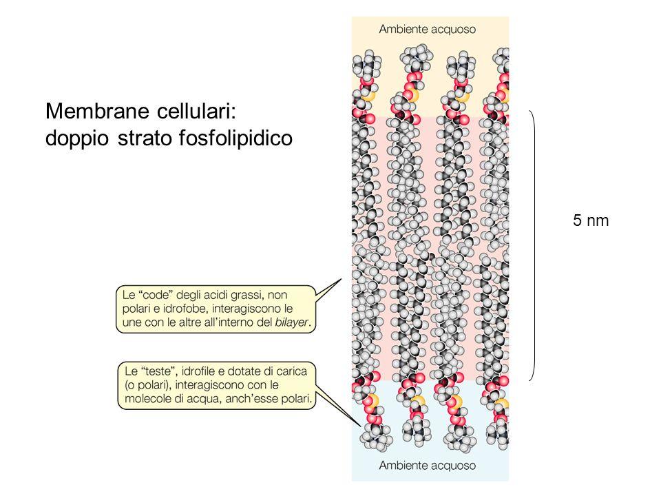 Membrane diverse hanno composizioni diverse di lipidi e altre molecole