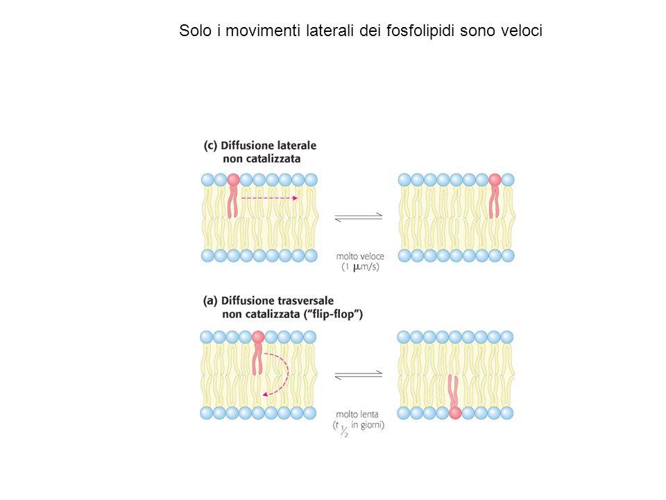 Il Colesterolo influenza la fluidità delle membrane
