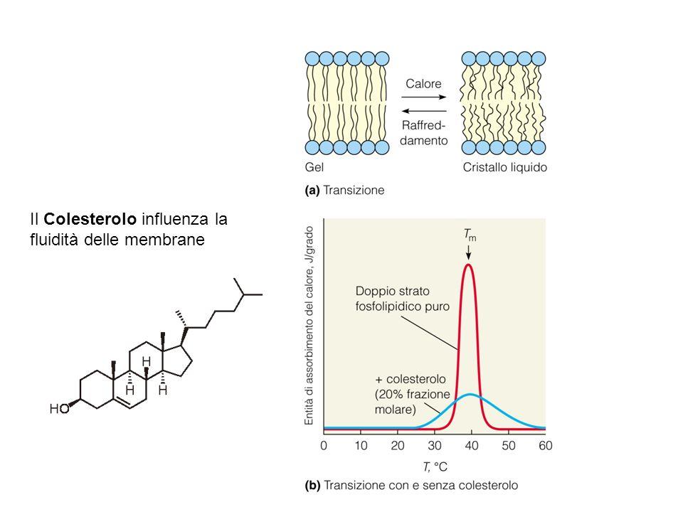 La rapidità di diffusione dipende da: Gradiente di concentrazione Gradiente elettrochimico Diametro delle molecole Temperatura Movimento dei soluti attraverso una membrana permeabile