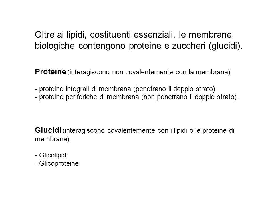 Oltre ai lipidi, costituenti essenziali, le membrane biologiche contengono proteine e zuccheri (glucidi). Proteine (interagiscono non covalentemente c