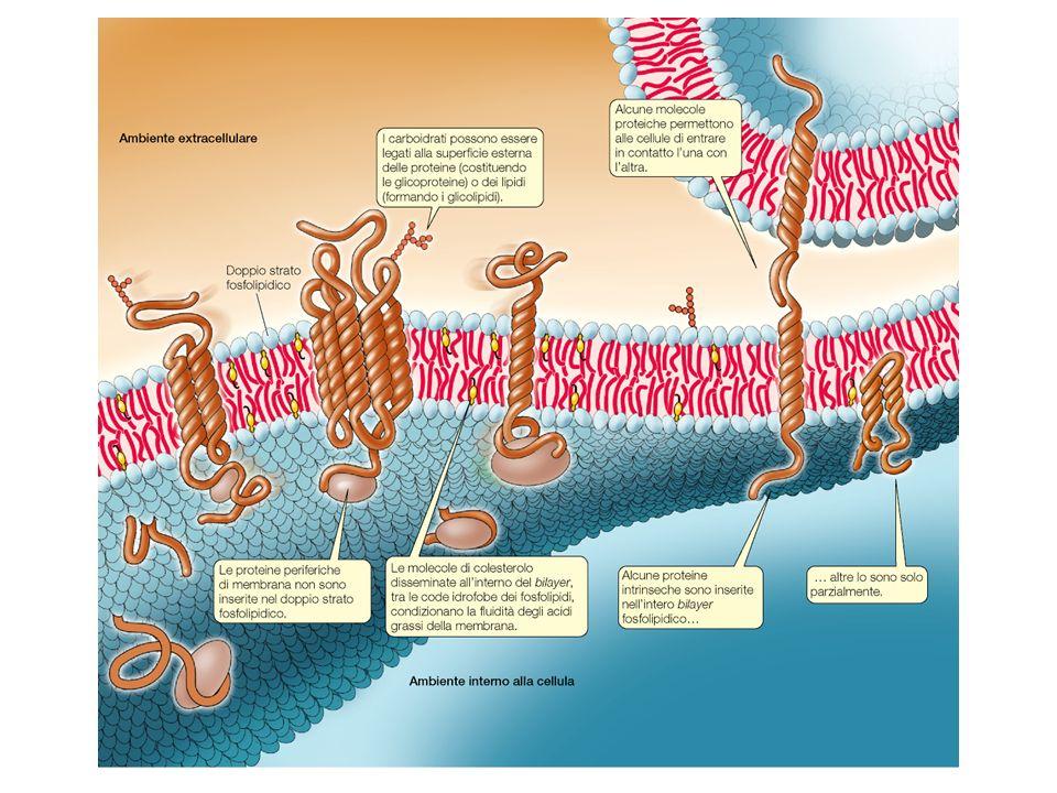 Proteine e carboidrati di membrana sono importanti per il riconoscimento e ladesione cellulare