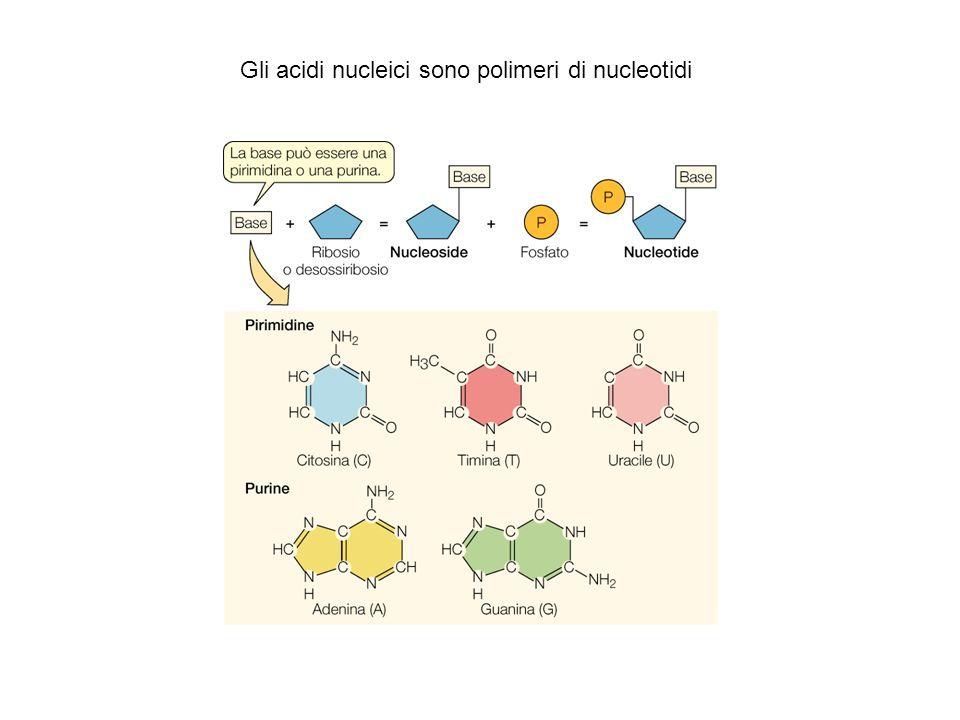 Gli acidi nucleici sono polimeri di nucleotidi