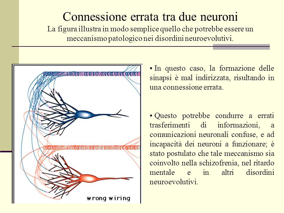 In questo caso, la formazione delle sinapsi è mal indirizzata, risultando in una connessione errata. Questo potrebbe condurre a errati trasferimenti d